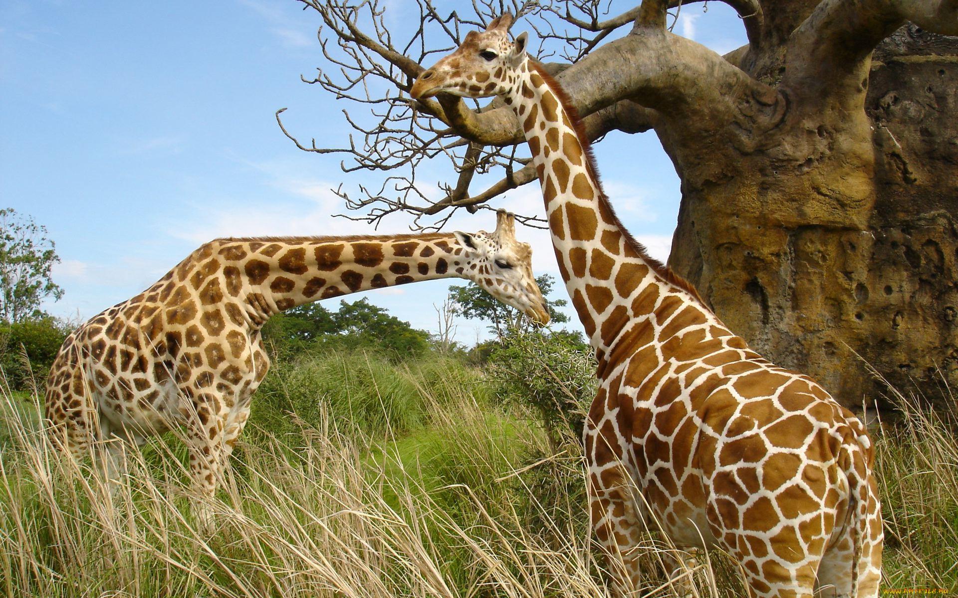 своего все картинки про жирафа самом